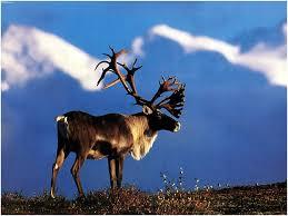 caribou2