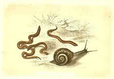 ver escargot