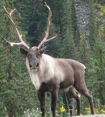 caribou 8