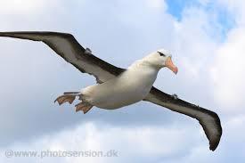 albatros10