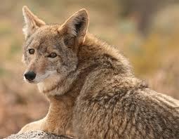 coyote 12