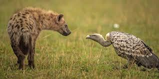 hyène 4